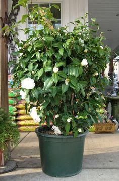 White Spring Camellia