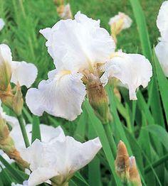 Immortality Reblooming Iris -flowers spring & fall. plus, easy to grow pernnials