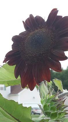 Gardening  Dinwiddie  , Va