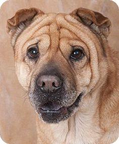 Chicago, IL - Shar Pei. Meet Jeannie, a dog for adoption. http://www.adoptapet.com/pet/17215756-chicago-illinois-shar-pei