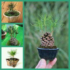 Can I Bonsai an Avocado Plant? Flower Pot Garden, Wholesale Flowers, Diy Garden, Boxwood Garden, Garden Decor, Bonsai Plants, Plants, Planting Flowers, Garden Trees