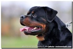 Stud Dogs Int. CH. Burning Des Princes D'aragone years old ...
