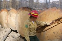 Keli Stafford of U.S. Forest Service examines huge pines recovered in salvage logging operations.