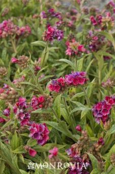 Monrovia's Raspberry Splash Lungwort details and information. Learn more about Monrovia plants and best practices for best possible plant performance.