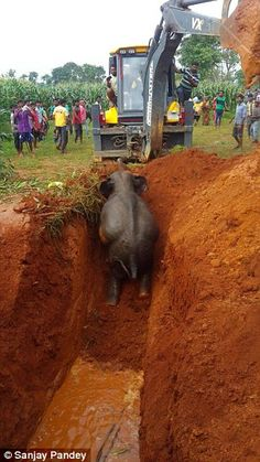 Forest ranger Ramlakhan Paswan, who led the rescue operation, told MailOnline: 'We widened the well's mouth with the earth mover to make a slope and helped the calf come out of the pit after an hour-long operation'