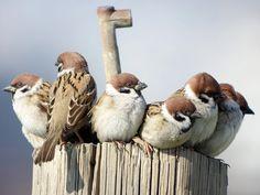 Photo: Eurasian Tree Sparrow -- スズメ 「押すなよ、押すなよ!」 TSN884+TE11WZ+RX100 #birdphotography #birdsgallery #japanphotography #デジスコ