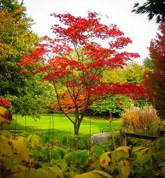 Fernleaf Full-Moon Japanese Maple Trees For Sale The Tree Center Garden Soil, Garden Plants, Indoor Plants, Gardening, Japanese Tree, Japanese Maple, Japanese Gardens, Trees Online, Specimen Trees
