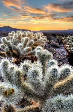 Chollas Cactus Sunrise Joshua Tree National Park, California by Sierralara, via Flickr