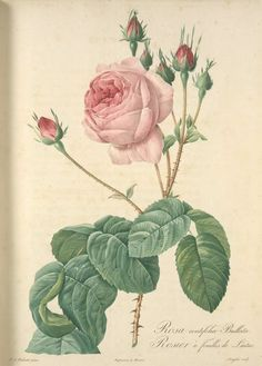 Rosa Centifolia Bullata; Rosier a feuilles de Laitue (syn) One of hundreds of thousands of free digital items from The New York Public Library.
