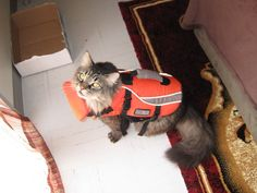 Our store sold 100s of these life jackets. Never crossed my mind that a cat would wear/need one. Wow!