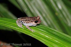 Leptobrachium nigrops (Black-eyed litter frog)