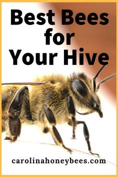Things to consider when buying bees. Choosing the best types of bees for your hive can be difficult. Learn the typical characteristics of different races of honey bees. Hobbies For Couples, Hobbies For Women, Hobbies To Try, Hobbies That Make Money, How To Start Beekeeping, Beekeeping For Beginners, Types Of Honey Bees, Bee Hive Plans, Raising Bees