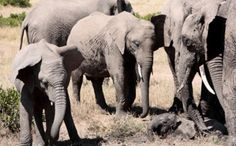 While We Mourned Cecil, Five Elephants Were Murdered