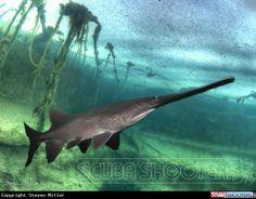 American paddlefish under the ice