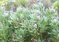 Protea Lepidocarpodendron          Black-bearded Protea         Swartbaardsuikerbos         2 m            S A no 90,5     Growing on the Cape Peninsula