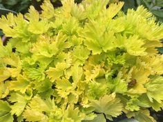 GEUM 'SUNKISSED LIME' DWARF FORM DELIGHTFUL VIBRANT EVERGREEN FOLIAGE 9cm pot Japanese Maple Bonsai, Japanese Red Maple, Cottage Garden Plants, Acer Palmatum, Potted Trees, Maple Tree, Perennials, Outdoor Gardens, Lime