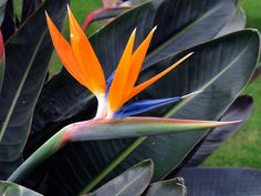 Bird of Paradise - grandparents home in Hawaii...memories