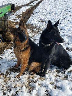 Olga and Django, AKC German Shepherd dogs at the VHR RANCH in Paige Tx