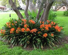Clivia miniata - Bush Lily / Fire Lily. Fast-growing, evergreen perennial that forms a neat clump of strappy leaves. The orange or yellow flowers are long-lasting and signal end of winter. Tolerates moderate frost, but if affected will quickly recover in summer. After flowering, it bears attractive, bright red berries which if left to ripen, drop to release seeds. Grown in full shade flower later in spring than those which receive a little sun.