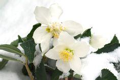 Lyckas med julblommor Plants