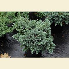Broken Arrow Nursery - Growers of rare and unusual plants Juniperus Squamata, Broken Arrow Nursery, Blue Star Juniper, Unusual Plants, All Plants, Evergreen, Home And Garden, Herbs, Yard