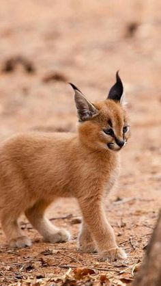 "The caracal is a medium sized cat which it spread in West Asia, South Asia, and Africa. The word Caracal is from Turkey ""Karakulak"" which means ""Black Ears"". Here is all about caracal as a pet. Baby Caracal, Caracal Kittens, Cats And Kittens, Baby Bobcat, Lynx Kitten, Lynx Lynx, Funny Kittens, White Kittens, Caracal Caracal"