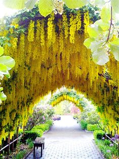 The Laburnum arch with purple allium at Bayview Farm and Garden, owner Maureen Murphy, at Whidbey Island, Langley, Washington. The yellow flowers are Golden Chain or Chain of Gold trees made to look like Wisteria . Beautiful World, Beautiful Gardens, Beautiful Places, Beautiful Pictures, Beautiful Park, Amazing Gardens, Simply Beautiful, Absolutely Gorgeous, Parcs