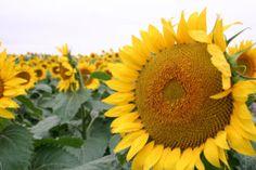 Sunflowers.  Welcome to Kansas.
