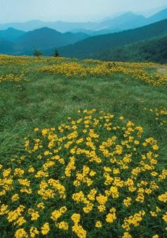 Wildflowers and mountain views in the spring - Great Smoky Mountains, North Carolina