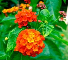 Lantana is an annual flower that is abundantly covered through the summer with brightly colored blossoms. The shrubby plant comes in garden varieties bearing white, yellow, gold, orange, and red flowers; usually the older flowers in each cluster are a different color than the younger ones.