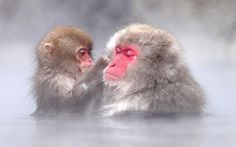 Japanese macaques bathing in the hot springs at Jigokudani Hot Spring Park in Nagano, Japan Picture: Kiyoshi Ookawa/Caters (seen in May, 2014 in Japan! Cute Funny Animals, Funny Cute, Animals And Pets, Baby Animals, Japanese Macaque, Japan Picture, Pet Monkey, Baboon