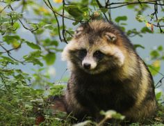 Tanuki (Raccoon dog II by Parides)