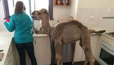 Rescue Camel Loves Helping His Family Out In The Kitchen