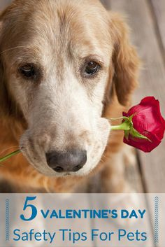 Dogs and cats make the best Valentines ever! Here are five great tips that help will keep your pets safe this Valentine's Day.