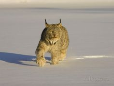 Eurasian lynx | Eurasian Lynx (Lynx Lynx) Walking in the Snow Photographic Print by ...