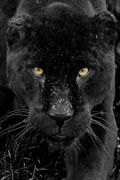 """llbwwb: """"(via / Black Jaguar Series by Colin Langford) """" Black Animals, Animals And Pets, Cute Animals, Wild Animals, Beautiful Cats, Animals Beautiful, Big Cats, Cats And Kittens, Black Panther Images"""