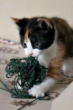 11week old calico kitten from Finland, Babu
