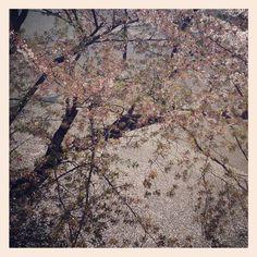 [さくら*2012/04/16]    桜は散ってしもーたねぇ...❀