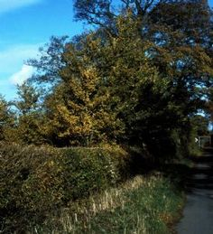 Old English Elm - Ulmus procera