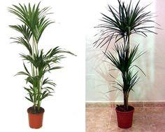 Kentia (izda.) y Dracena marginata (dcha.)