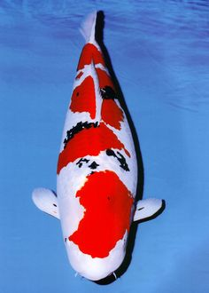 Sakura Young Koi Show Attendees Please vote for a koi Koi Carp Fish, Discus Fish, Water Animals, Animals And Pets, Oscar Fish, Common Carp, Koi Painting, Otters Cute, Fish Wallpaper