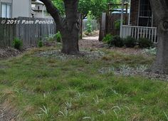 Texas sedge for shady spots where a traditional lawn won't work