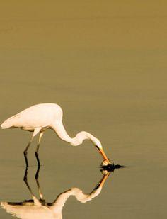 Stork catching fish