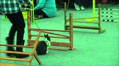 This is the cutest and funniest animal competition I've seen.  Rabbit Grand National The Final