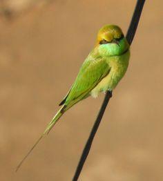 Green Bee Eater(Merops orientalis) [2079x2310][OC]