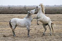 Cavalli Camrgue - Cavalli Camargue. Il Camargue è una razza di cavallo di origine antica, originaria ed endemica della Camargue, in Francia, oggi diffusa anche in altre parti del mondo per la sua capacità di adattarsi alle zone umide. (Cit. Wikipwdia)