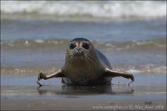 Tuleň obecný Nature Animals, Baby Animals, Cute Animals, Harbor Seal, Sea Dweller, Water Life, Pet Birds, Mammals, Fresh Water