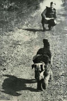 Airedale Terrier laying cables when on duty