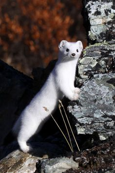 Looks much better on the ermine @ national geo