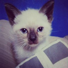 Adorable kitten with blue eyes. :)